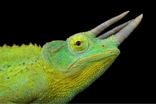 Kameleon pazury, a czy kameleony piją wodę