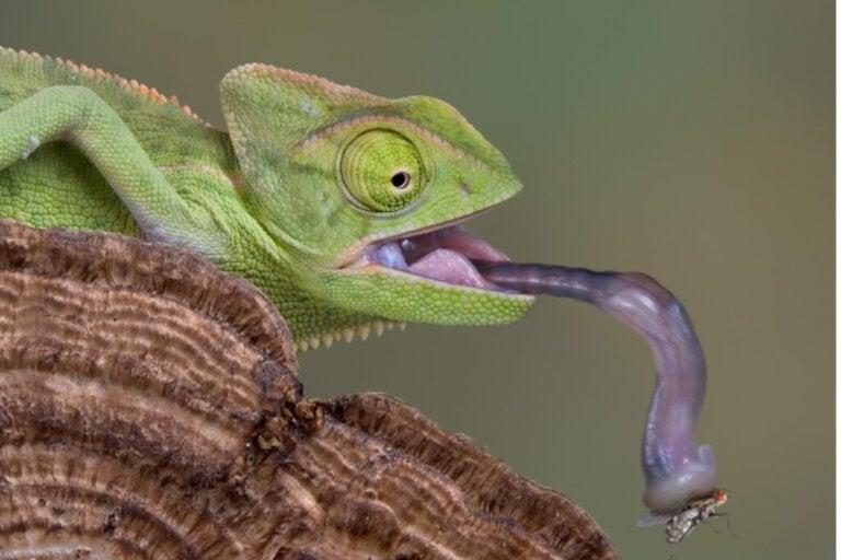 Czy kameleony piją wodę?