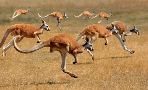 Kangury skaczą w grupie