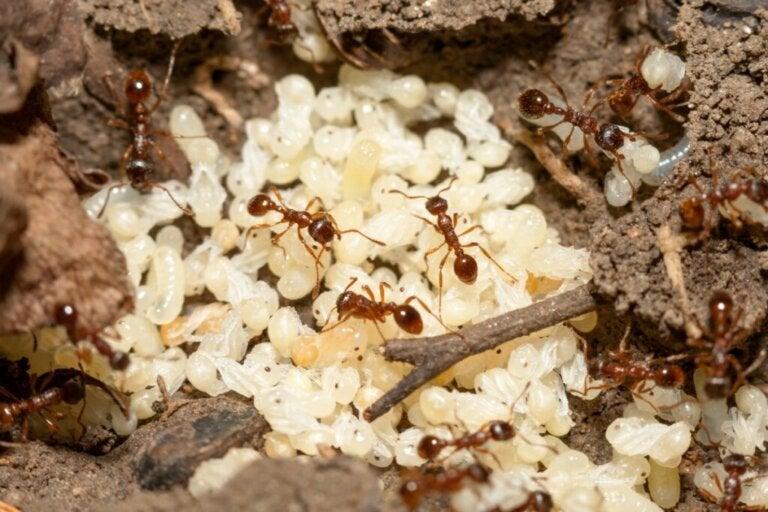 Jak rodzą się mrówki?