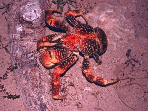 Krab palmowy poszukuje wody