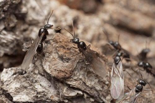 Mrówki w mrowisku, a skrzydlate mrówki