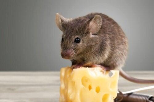Mysz na kostce sera