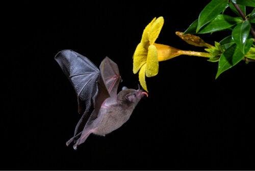 Nietoperz zapyla kwiat