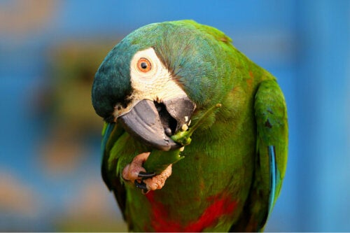 Papuga je paprykę