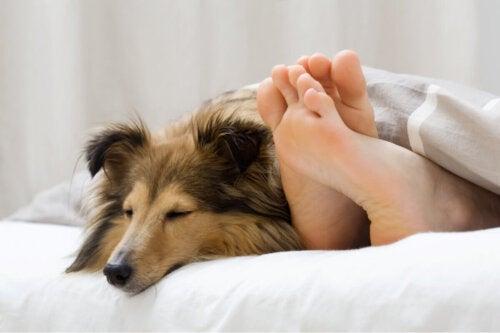 Pies leży w łóżku pod kołdrą z panią, i wystają stopy