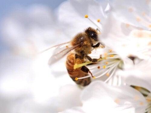 Pszczoła zapylające kwiat