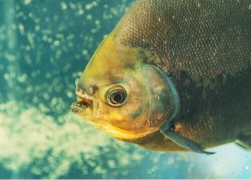 Ryba Pacu