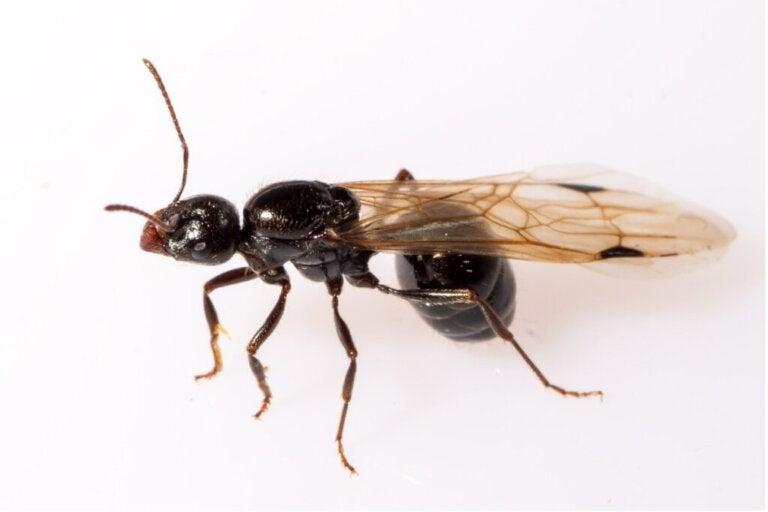 Czy istnieją skrzydlate mrówki?