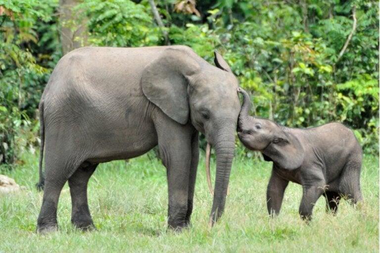 Jak długo trwa ciąża u słonia?
