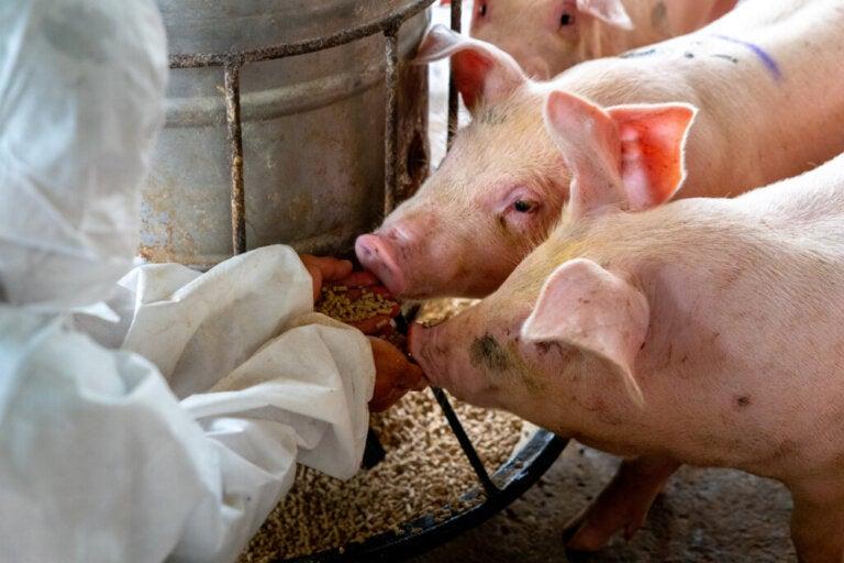 Co jedzą świnie?