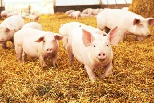 Świnie w stajni w grupie na sianie