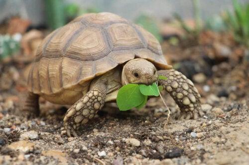 Żółw zjada liście
