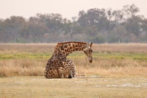 Żyrafa w trakcie krótkiej drzemki