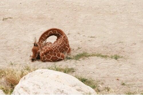 Żyrafa we śnie