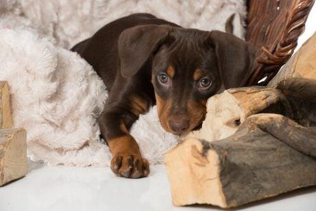 Hur man hjälper en sörjande hund när ett husdjur dör
