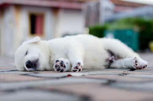 Sättet din hund sover på kan säga mycket