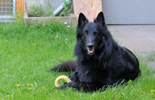 Svart hund på gräsmatta