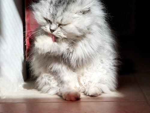 Katt som slickar sin tass