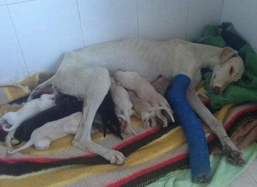 Hund med brutet ben går 3 km för att rädda sina valpar