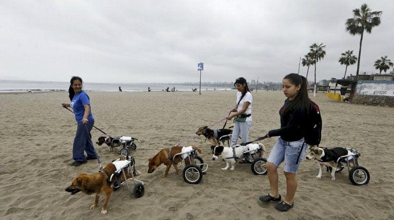 Handikappade hundar på stranden