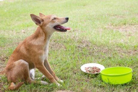 Hur man behandlar en hund som kräks