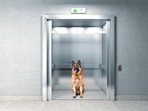Djurs intelligens: hund reagerar när han fastnar i hiss
