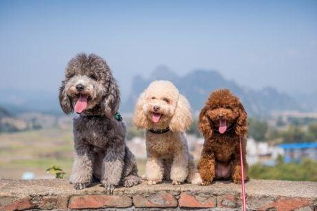Hundar i grupp 8: rasklassificering enligt FCI