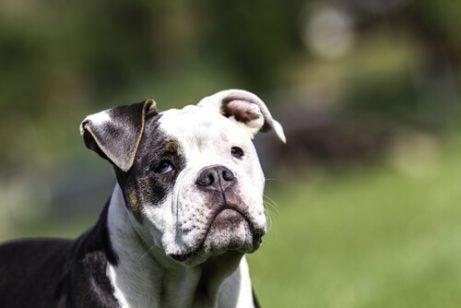 Senildemens hos hundar: allt du behöver veta