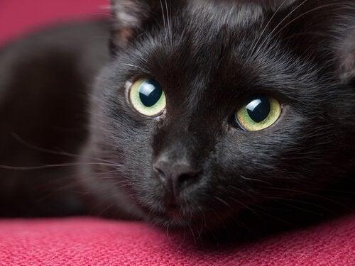 Svart katt med fina ögon