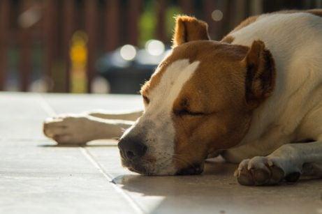 Trött hund på golvet