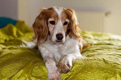 Varför luktar hundar dig mellan dina ben?