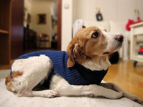 Hund med blå tröja