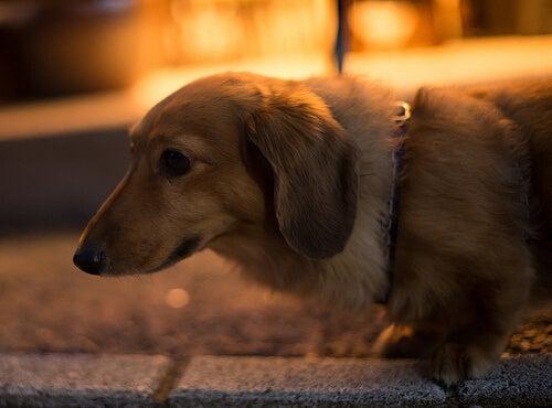 Medicin som lindrar hundens rädsla för fyrverkerier