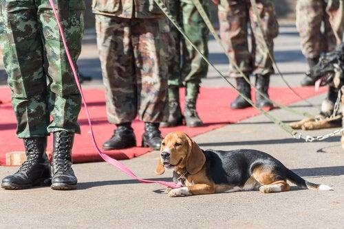 Hundar och militärer