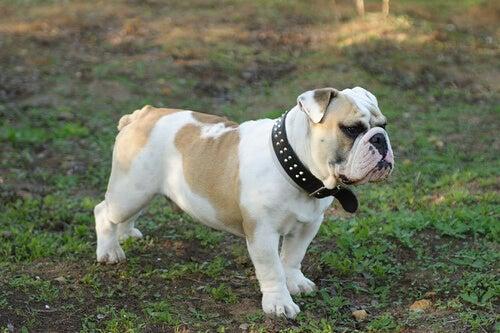 8 av de dyraste hundraserna i världen