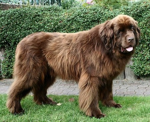Brun newfoundlandshund