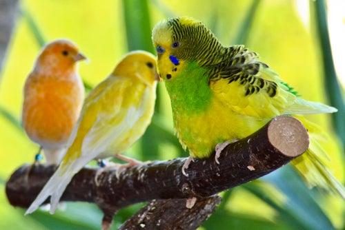 Tre parakiter på en pinne