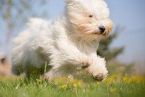 springande hund