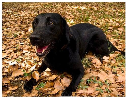 Svart labrador bland löv