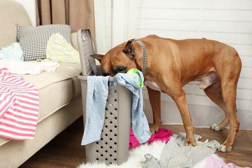 Hund stökar i tvätt