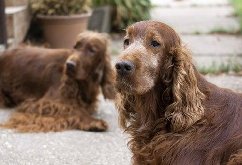 Två hundar som tittar
