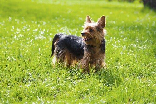 Yorkshireterrier står på gräsmatta