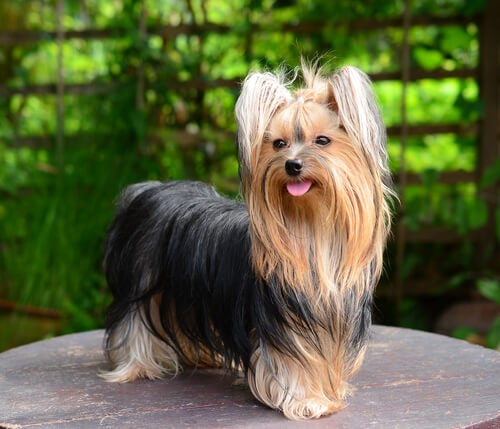 En glad yorkshireterrier