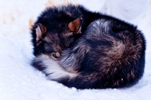 Hopkurad hund i snön