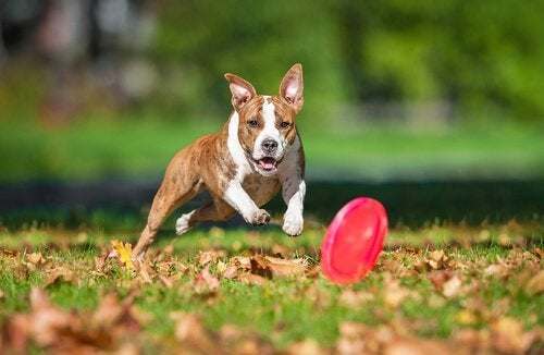 Hund jagar frisbee
