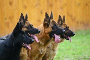 Uppmärksamma hundar