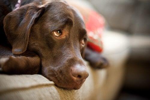 Hund saknar sin ägare och gör detta för att få tillbaka honom
