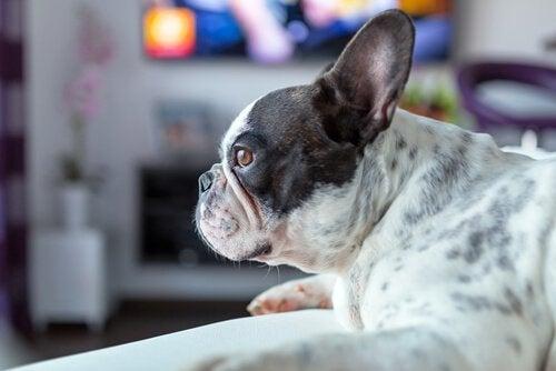 Möt hunden som älskar att se skräckfilm