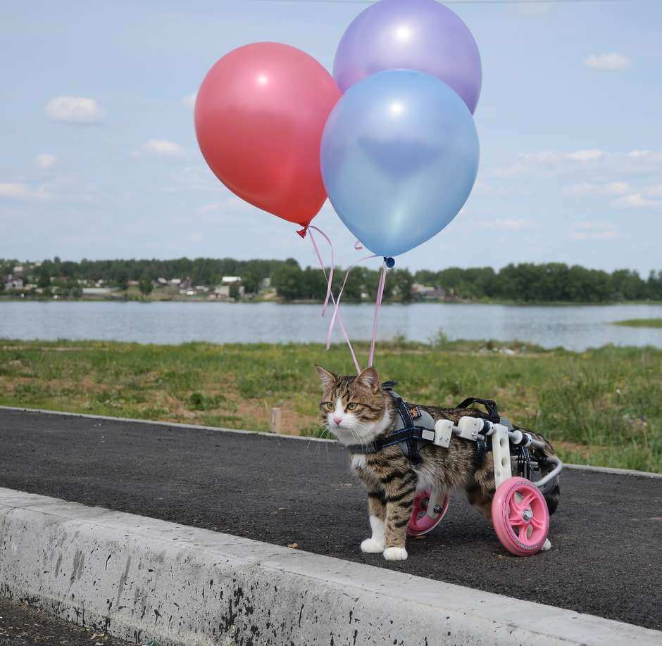 Katt med rullstol och ballonger.